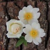 Малые белые цветки на коре дерева Стоковые Фото