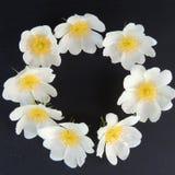 Малые белые цветки на черной предпосылке Стоковые Изображения RF
