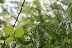 Малые белые цветки с листьями Стоковая Фотография RF
