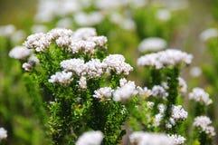 Малые белые цветки Стоковое Изображение RF