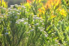 Малые белые цветки Стоковые Изображения