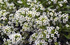 Малые белые цветки Стоковое фото RF