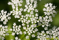 Малые белые цветки Стоковые Фотографии RF