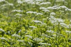 Малые белые цветки стоковая фотография rf