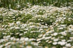 Малые белые цветки стоковое изображение