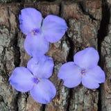 Малые голубые цветки на коре дерева Стоковые Изображения