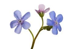Малые 3 голубых цветка незабудки на белизне Стоковые Изображения