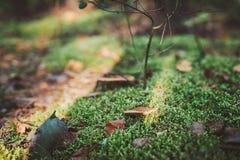Малые грибы в мхе Осень Стоковые Изображения