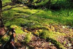 Малые грибы среди мха и ручек в мягком свете вечера на поле леса Стоковые Изображения