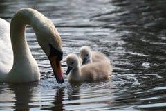Малые лебеди Стоковые Изображения RF