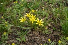 Малые желтые цветки минимумов Gagea в траве Стоковое Фото