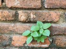 Малые зеленые лист на старой кирпичной стене Стоковые Изображения