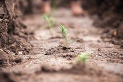 Малые зеленые ростки ели засаженные в почве Стоковые Фотографии RF