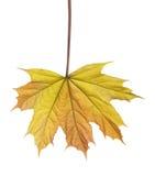 Малые лист дерева клена весны изолированные на белизне Стоковые Фотографии RF