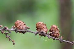 Малые конусы сосны растя на дереве хвои в лете нерезкость предпосылки славная Стоковые Изображения