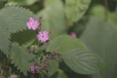 Малые маленькие розовые цветки с большими зелеными листьями Стоковые Фотографии RF