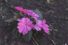 Малые маленькие розовые цветки с зелеными листьями Стоковые Фотографии RF