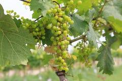 Малые молодые виноградины стоковая фотография rf