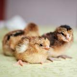 Малые, мягкие сладостные цыпленоки пасхи Стоковая Фотография