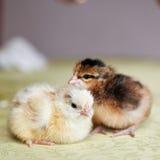 Малые, мягкие сладостные цыпленоки пасхи стоковое фото