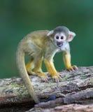 Малые общие обезьяны белки (sciureus Saimiri) Стоковые Фото