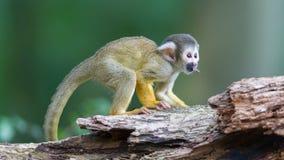 Малые общие обезьяны белки (sciureus Saimiri) Стоковое фото RF