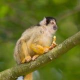 Малые общие обезьяны белки (sciureus Saimiri) Стоковые Изображения