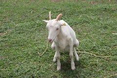 Малые овцы сидят и мочатся на траве Стоковая Фотография