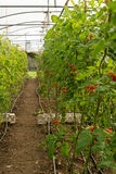 Малые органические томаты растут на лозе в большом зеленом доме Стоковые Фотографии RF