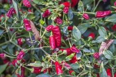 Малые перцы chili Стоковая Фотография