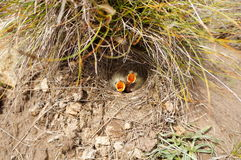 Малые птицы младенца Стоковое Фото