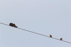 Малые птицы сидя на проводе Стоковые Изображения