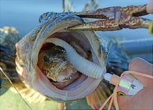 Малые рыбы внутри рта более больших рыб Стоковое Изображение RF
