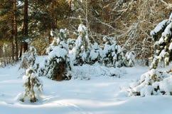 Малые сосны в парке Стоковое фото RF