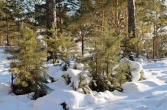 Малые сосны в парке Стоковая Фотография