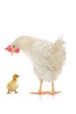 Малые утка и курица цыпленка Стоковое Изображение
