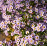 Малые фиолетовые цветки в поле стоковые фото