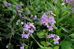 Малые фиолетовые цветки с растительностью Стоковые Изображения