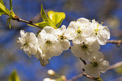 цветки Яблок-дерева Стоковое Фото