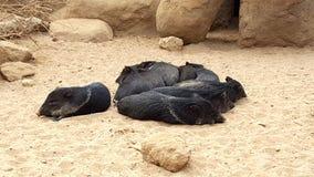 Малые черные свиньи Стоковые Фотографии RF
