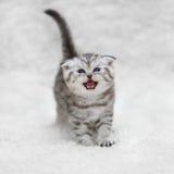 Малые scottish складывают котенка представляя на белой предпосылке Стоковые Изображения RF