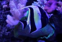 Малые striped рыбы моря в воде аквариума Стоковое Изображение
