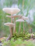 Малые toadstools Стоковое Фото