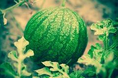 Малый арбуз в саде Стоковая Фотография RF