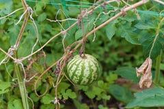 Малый арбуз в саде Стоковое Изображение