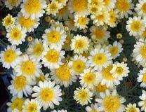 Малый белый и желтый конец-вверх хризантем стоковая фотография rf