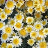 Малый белый и желтый крупный план хризантем стоковые изображения