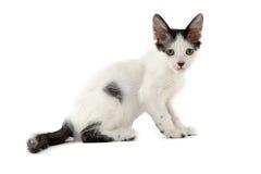 Малый белый и черный кот на белой предпосылке стоковая фотография rf
