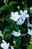 Малый белый цветок против темной предпосылки Стоковая Фотография RF