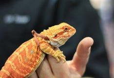 Малый бородатый дракон с поводком Стоковое Изображение